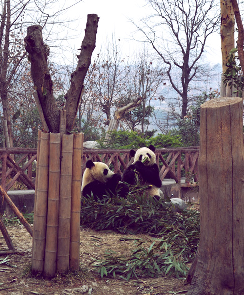 Chengdu travel Pandas