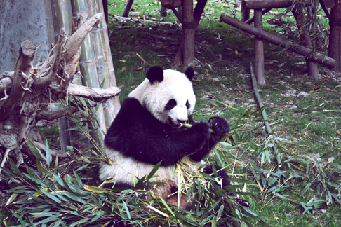 Panda Bears in Chengdu
